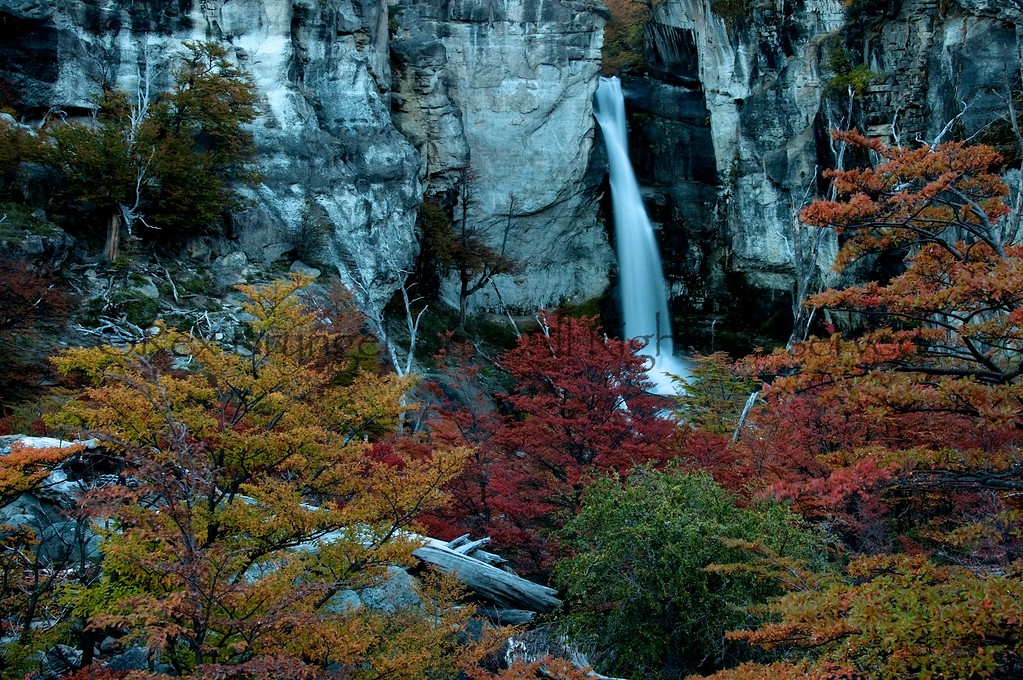 Autumn foliage of the southern beech forest in Los Glaciares National Park.  Argentine Patagonia.