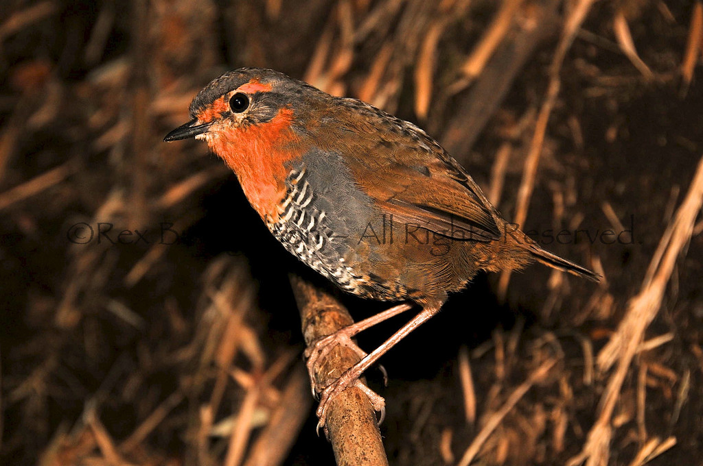 The endemic Chucao Tapaculo, Region of Aysen, Chile