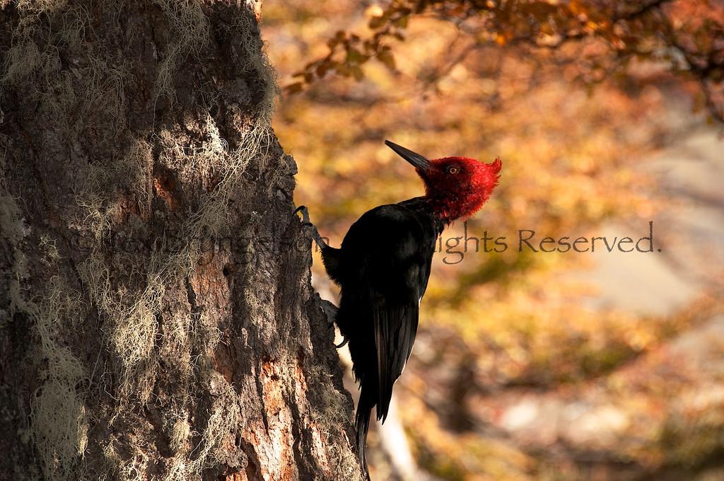Magellanic woodpecker in Los Glaciares National Park.  Argentine Patagonia.