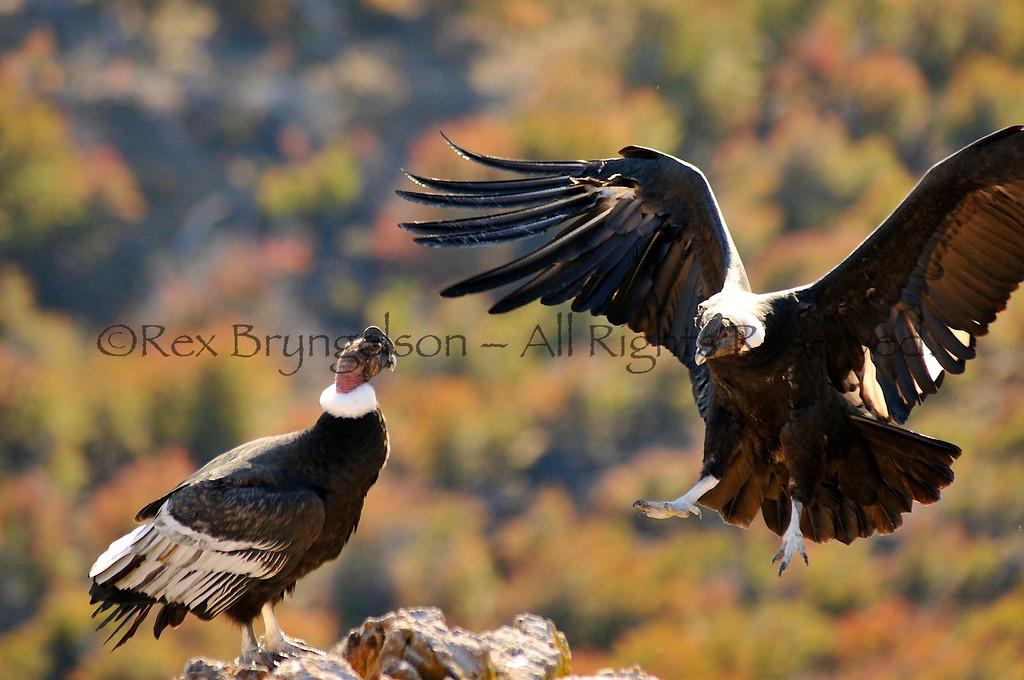 Condors at Estancia Punta del Monte, Region of Aysen, Chilean Patagonia