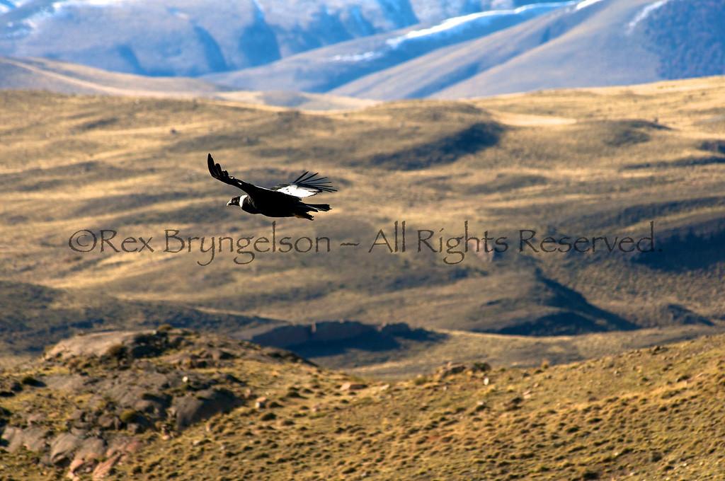 Condor in flight in Torres del Paine National Park, Chilean Patagonia.