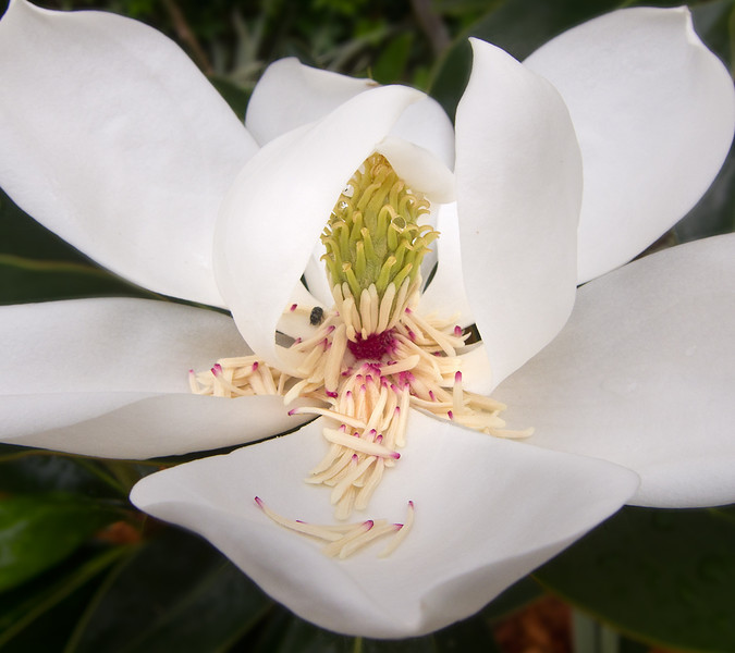 Magnolia grandiflora. Main Beach, Gold Coast, Queensland.