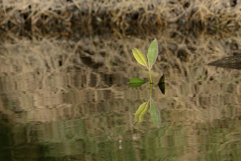 Mangrove reflection, Burleigh Heads, Queensland.