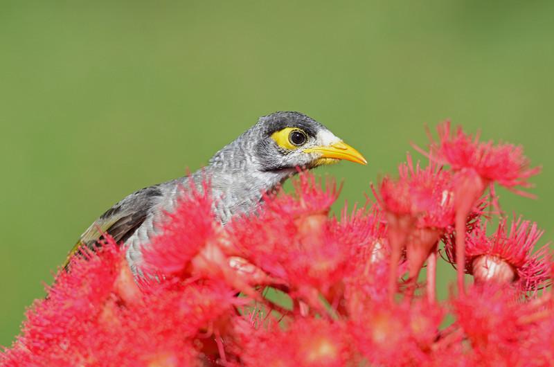 Native minor, Macintosh Island Park, Gold Coast, Queensland.