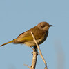 Brown-headed Honeyeater (Melithreptus brevirostris), Main Beach, Queensland.