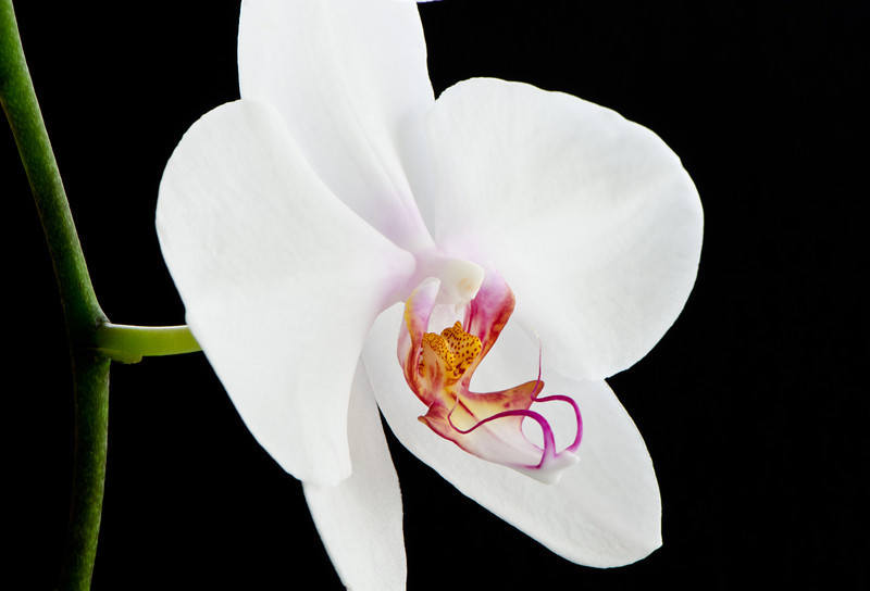Phalaenopsis orchid, Moth orchid. Main Beach, Queensland.