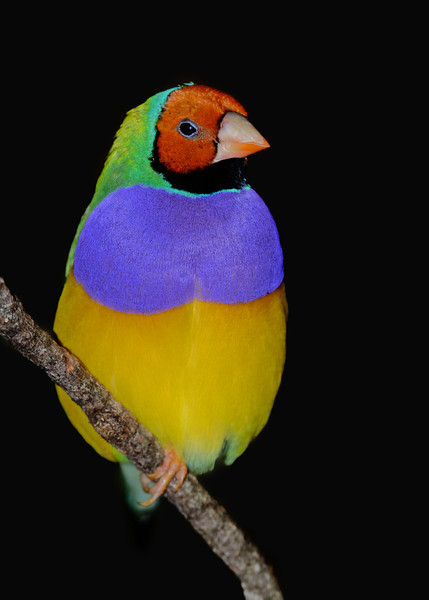 Gouldian finch, Currumbin Wildlife Sanctuary, Gold Coast, Queensland.