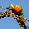 Lorikeet, Gold Coast, Queensland.
