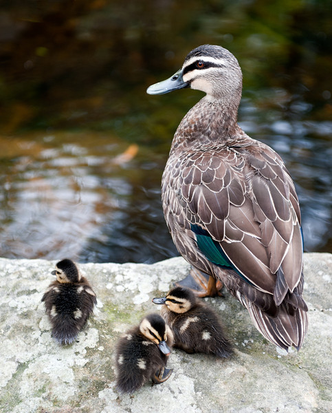 Duck and ducklings. Sydney Botanic Gardens. 2nd November 2008.