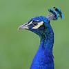 Male Peacock, Macintosh Island Park, Gold Coast, Queensland.