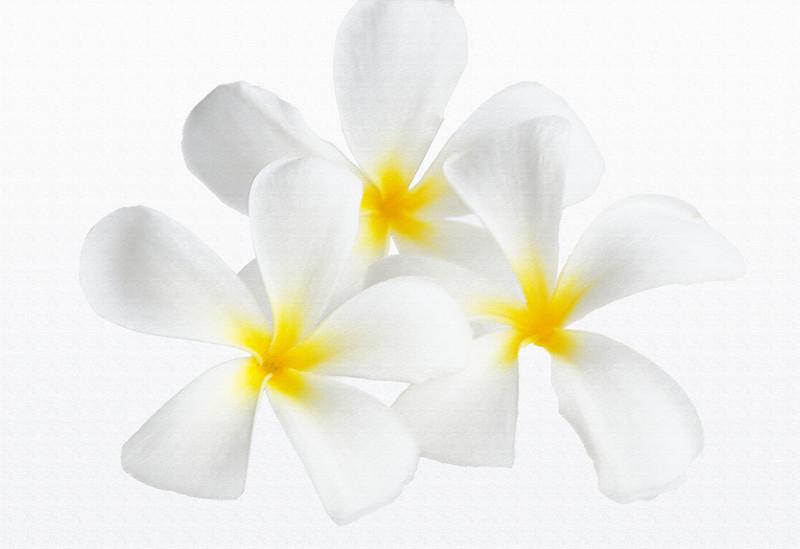 3 Plumeria 'Singapore White' (with texture filter)