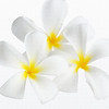 3 Plumeria 'Singapore White' (with texture filter)