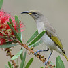 Brown Honeyeater, The Spit Main Beach, Queensland.