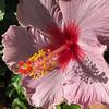 Mauve Hibiscus Flower.<br /> Surfers Paradise, Queensland.