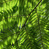 Backlit tree fern frond, Currumbin, Queensland.