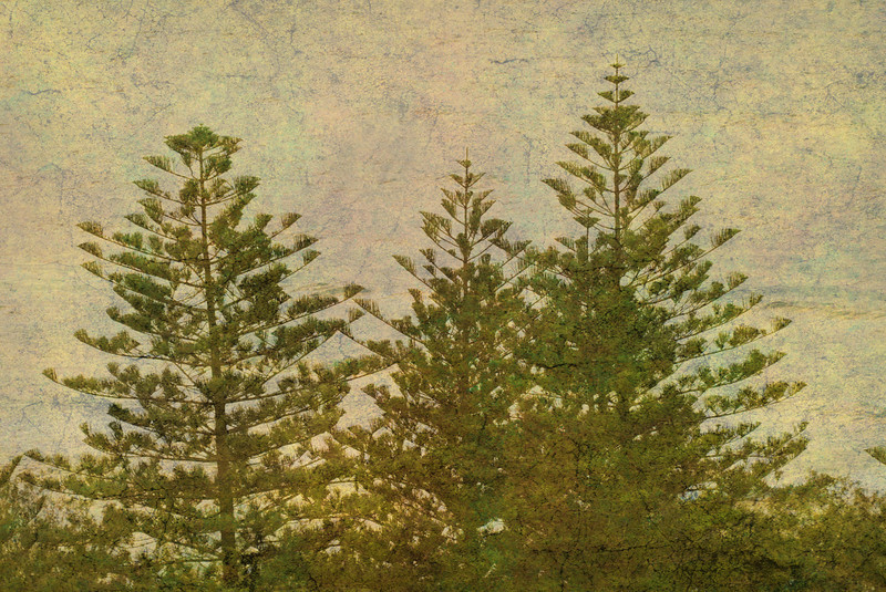 Norfolk Pines, Main Beach, Queensland. (Texture Overlay).