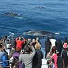 Whales, Surfers Paradise, Gold Coast, Queensland