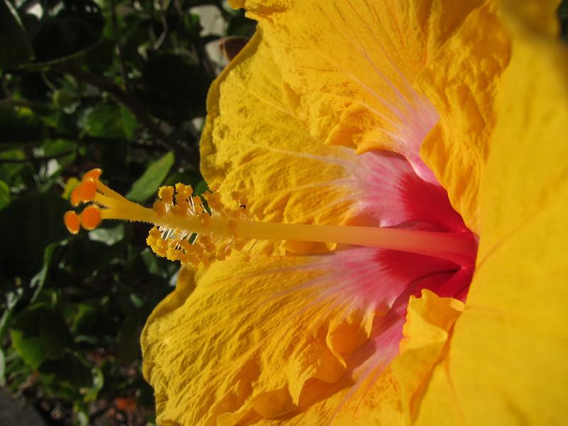 Hibiscus flower. Main Beach, Queensland.
