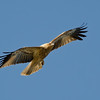 Whistling Kite, Gold Coast, Queensland.