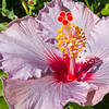 Mauve Hibiscus Flower.<br /> Main Beach, Queensland.