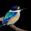 Forest Kingfisher, Currumbin Wildlife Sanctuary, Gold Coast, Queensland.