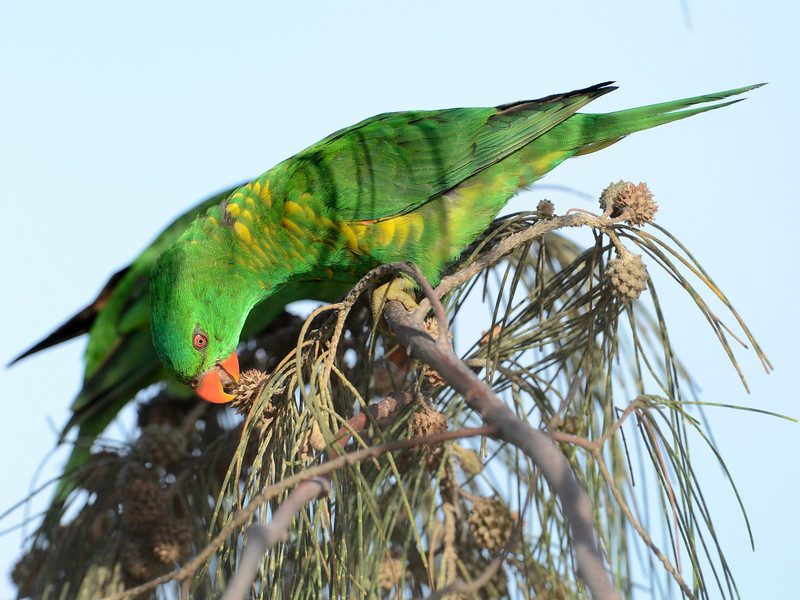 Scaly-breasted Lorikeet, Gold Coast, Queensland.