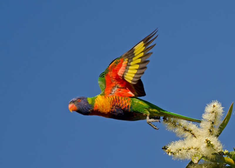 Rainbow lorikeet, Gold Coast, Queensland.
