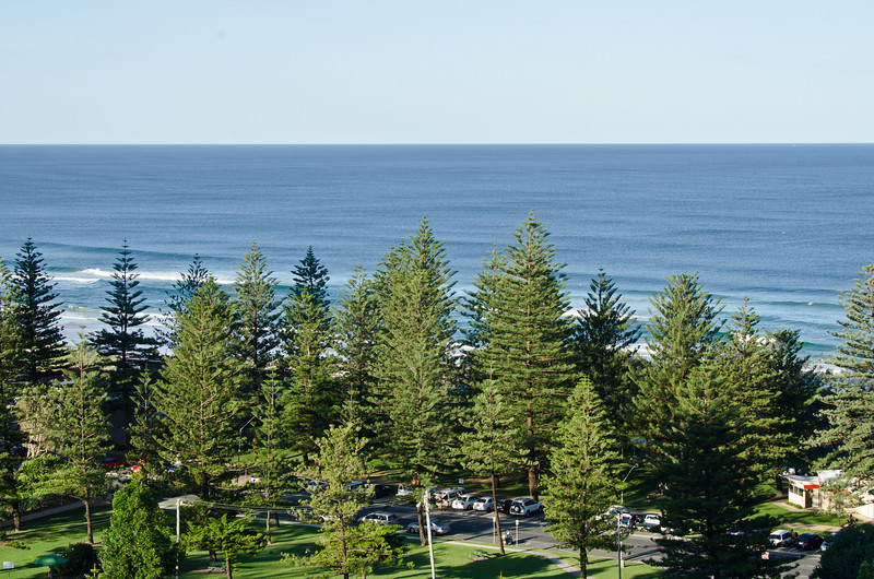 Norfolk Pines at Main Beach, Queensland.