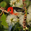 Male Scarlet Honeyeater, The Spit, Gold Coast, Queensland.