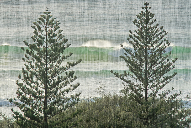 Norfolk Pines, Main Beach, Queensland. (Filter render Fibers).