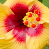 Hibiscus flower, Main Beach, Gold Coast, Queensland.