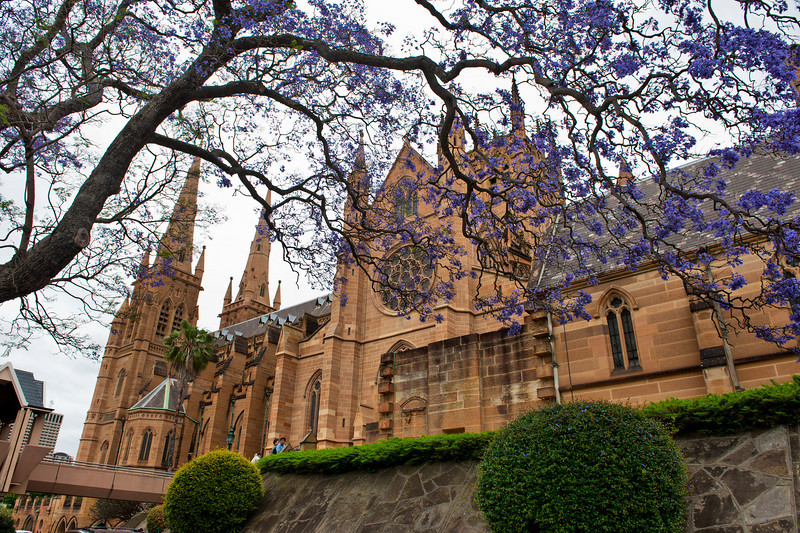 St Mary's Cathedral in Sydney. Jacaranda tree in flower. 2nd November 2008. HDR image.