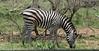 142 zebra a
