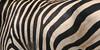 143 zebra aa