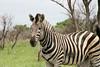 144 zebra ab