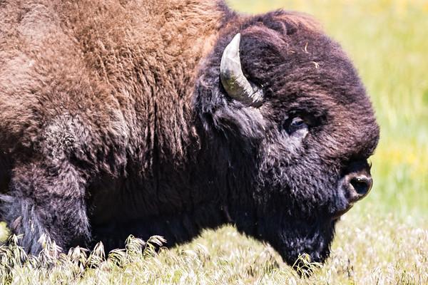 Summer Bison