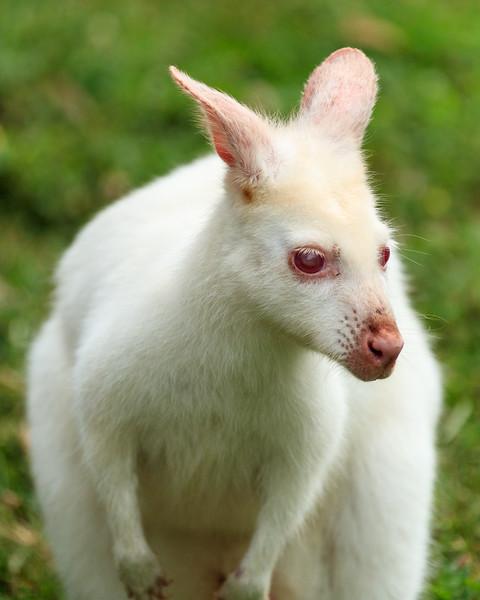 Albino Wallaby At Kentucky Down Under
