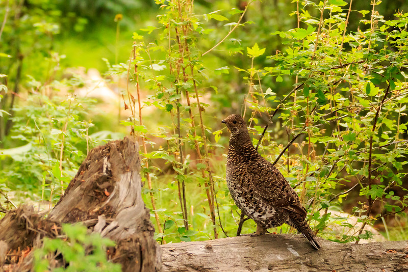 Ruffed Grouse In Rocky Mountain National Park