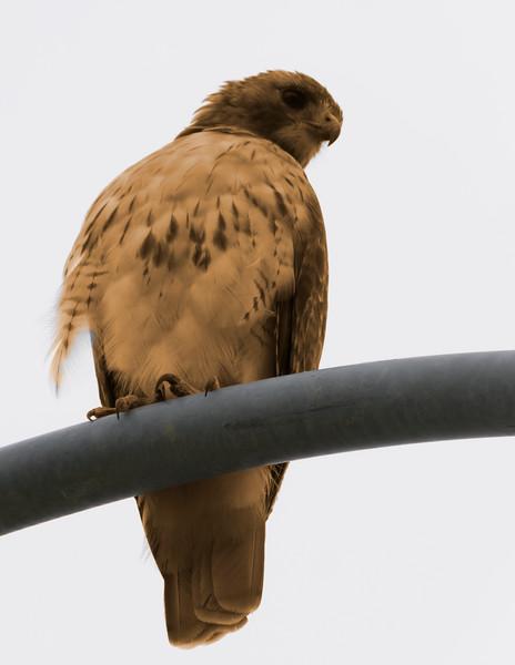 Toned hawk