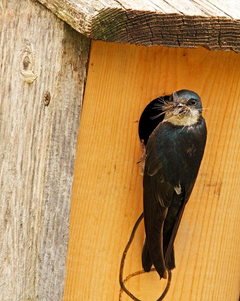 IMAGE: https://photos.smugmug.com/All-the-Birds/Birds/i-4zL4Jtc/0/5922aa7d/O/086_edited-1.jpg