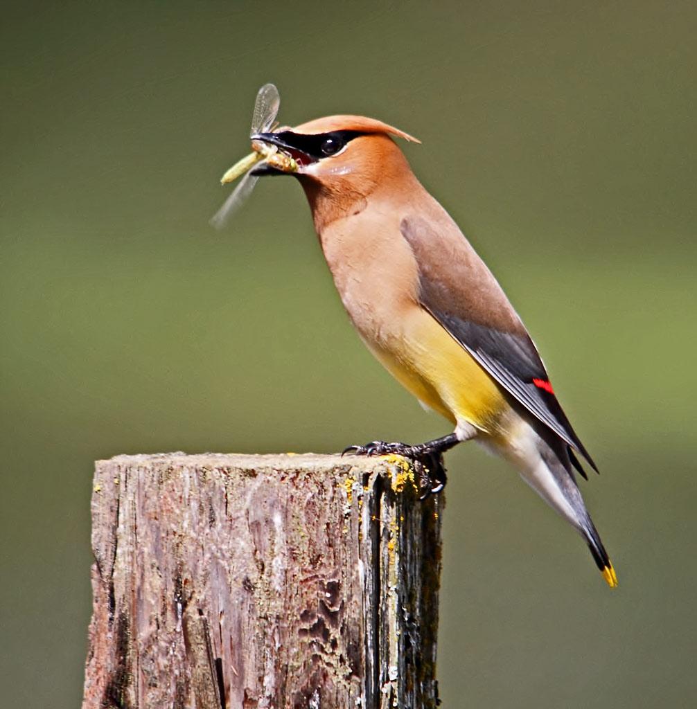 IMAGE: https://photos.smugmug.com/All-the-Birds/Birds/i-544bWnT/0/e5a5e88d/O/Cedarww.jpg
