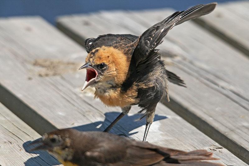 IMAGE: https://photos.smugmug.com/All-the-Birds/Birds/i-GdbNDVw/0/669d3d08/O/Elizabeth%20Lake%20280_edited-1.jpg
