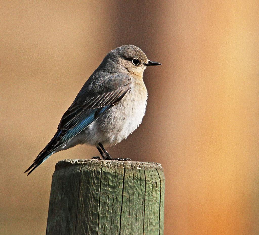 IMAGE: https://photos.smugmug.com/All-the-Birds/Birds/i-MTbkmjF/0/O/072_edited-1.jpg