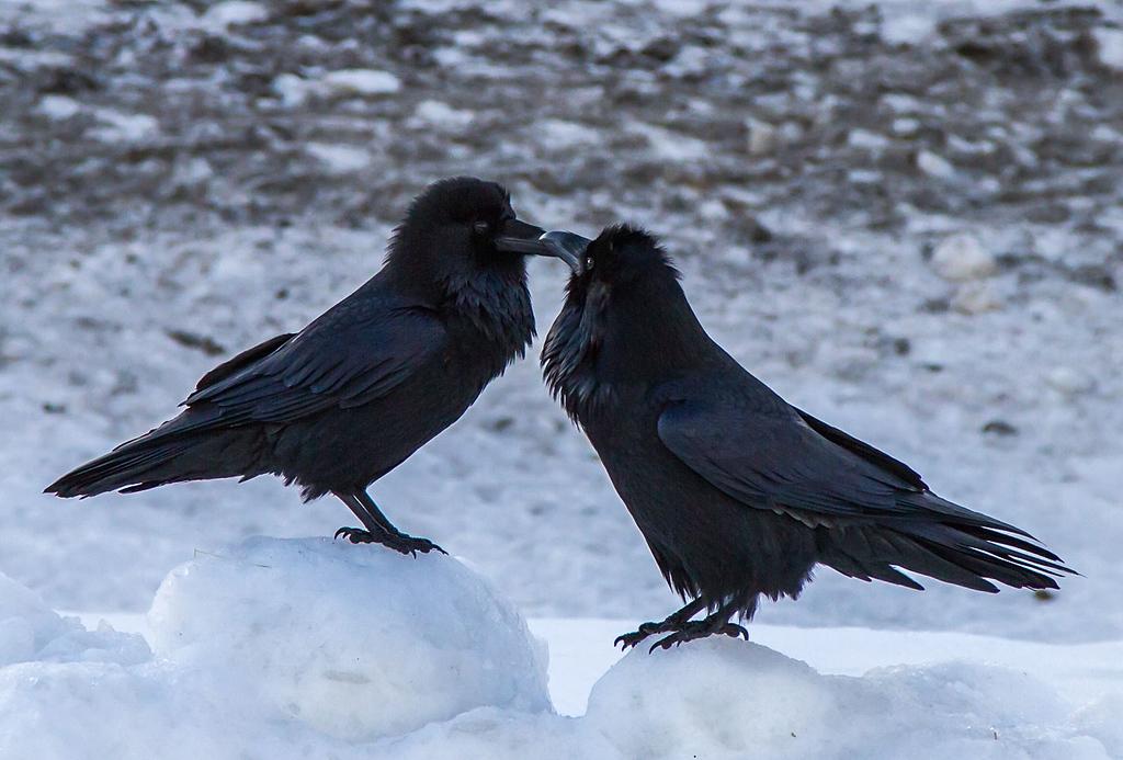 IMAGE: https://photos.smugmug.com/All-the-Birds/Birds/i-WCNcgs4/0/XL/IMG_2458-XL.jpg