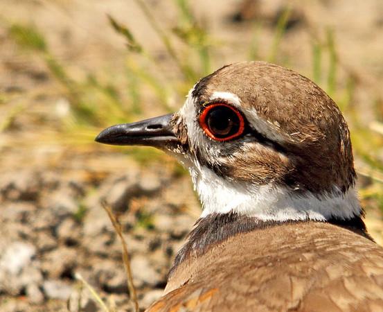 IMAGE: https://photos.smugmug.com/All-the-Birds/Birds/i-gkHVmQr/0/M/046_edited-1-M.jpg