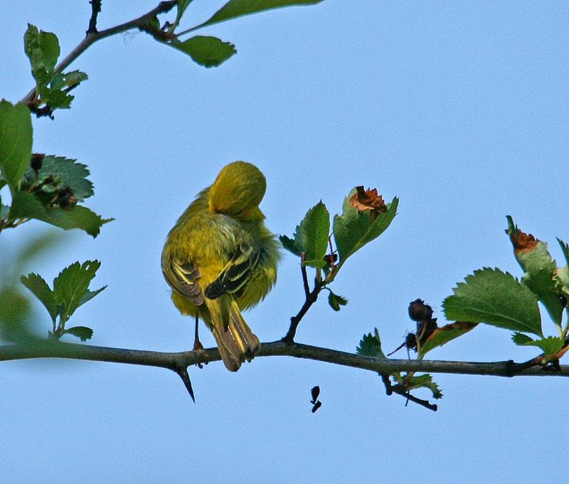 IMAGE: https://photos.smugmug.com/All-the-Birds/Birds/i-gpPP9BR/0/3e86b036/O/031_edited-1.jpg