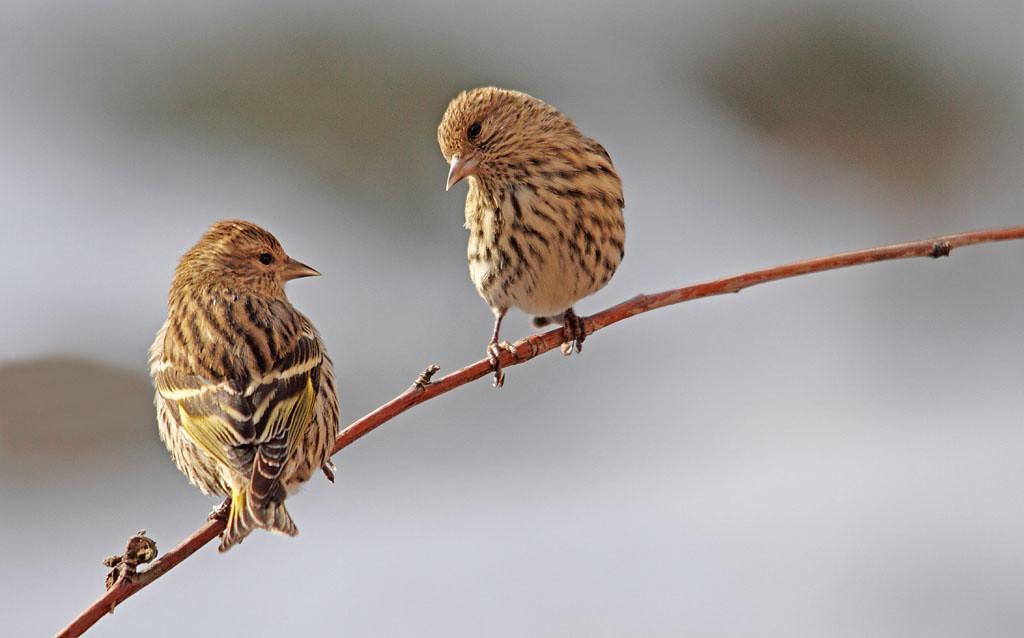 IMAGE: https://photos.smugmug.com/All-the-Birds/Birds/i-sGwKr9x/0/XL/040_edited-1-XL.jpg