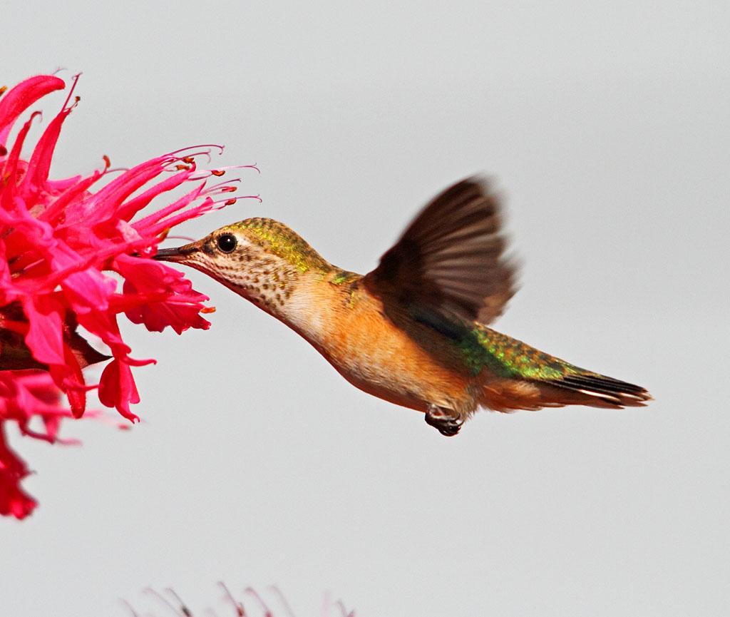 IMAGE: https://photos.smugmug.com/All-the-Birds/Hummers/i-RTd2VZQ/0/bc808b1d/O/187_edited-1.jpg
