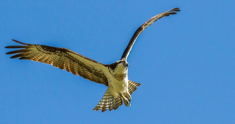 IMAGE: https://photos.smugmug.com/All-the-Birds/Ospreys/i-LjzNmGJ/0/e3f3156d/L/20140518-IMG_1825-L.jpg