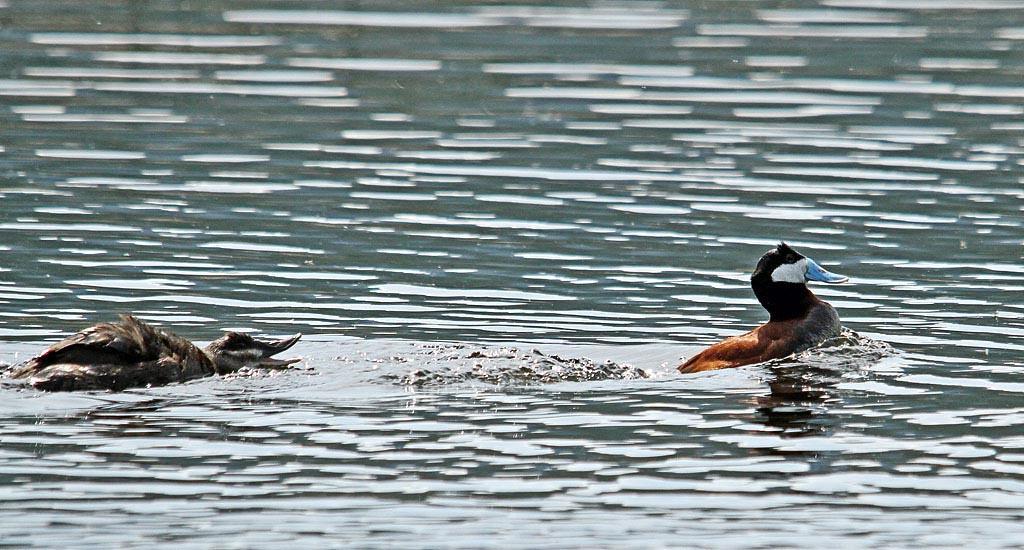 IMAGE: https://photos.smugmug.com/All-the-Birds/Water-Birds/i-2T6PWVc/0/12e86e5b/XL/115-Ruddy-XL.jpg